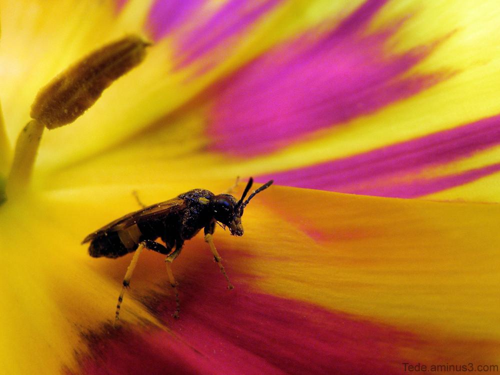 Insecte et tulipe