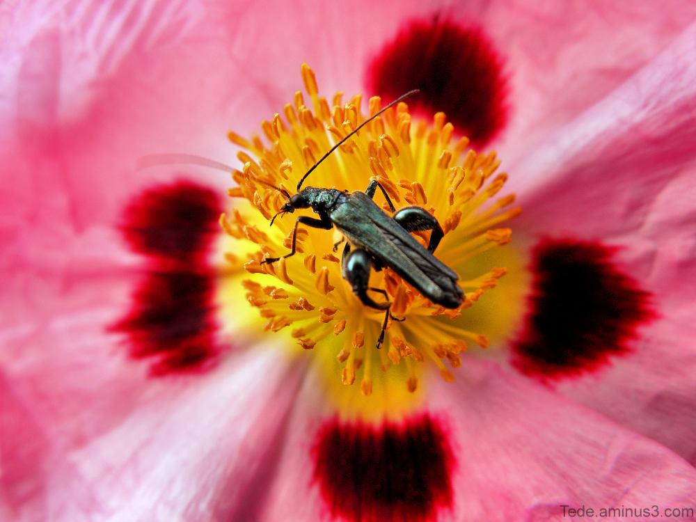 Insecte sur une fleur de ciste