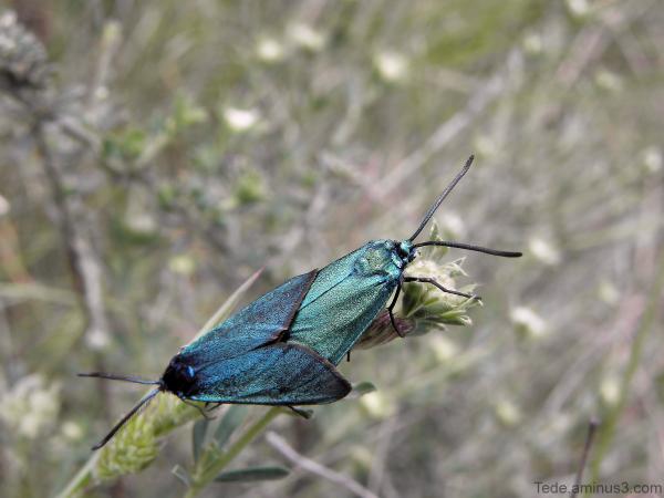 Turquoise des hélianthèmes