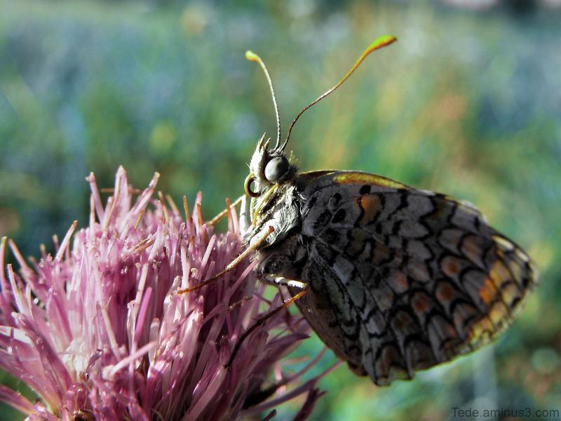 Papillon et chardon