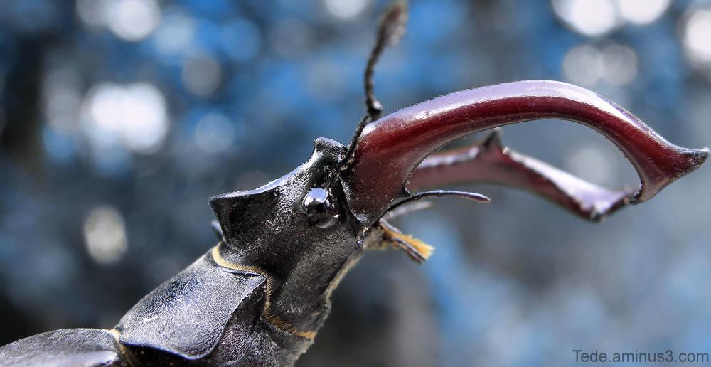 Lucane cerf-volant