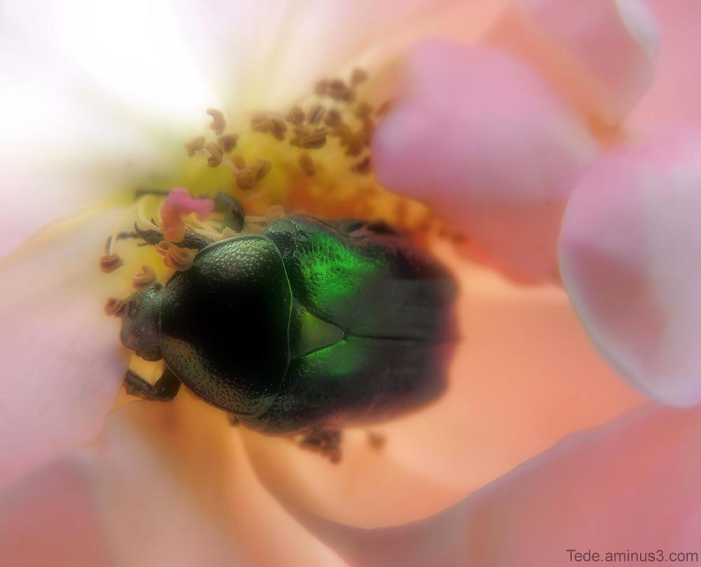 Cétoine et rose