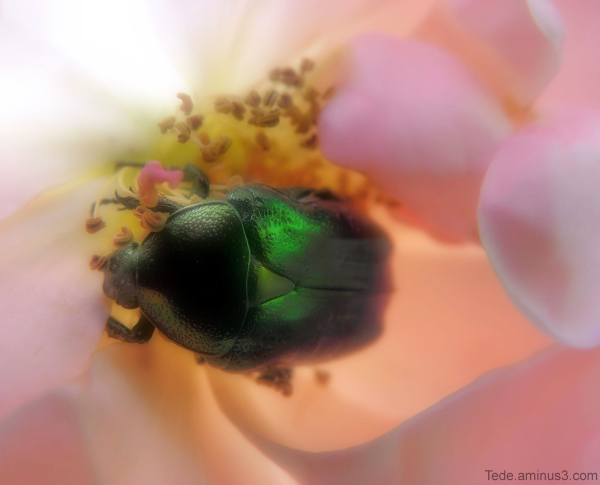 Émeraude  dans  une  rose.