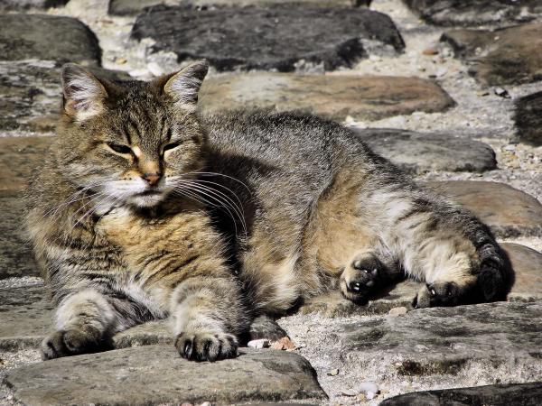 Mimétisme  du  chat...
