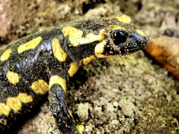 La  salamandre...