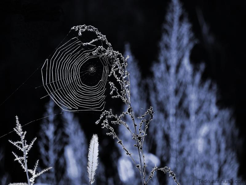Black  web...