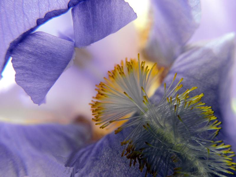 Dans  l'intimité  de  l'iris...
