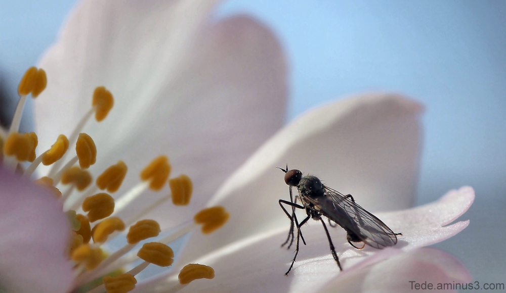 Insecte sur une fleur d'amandier