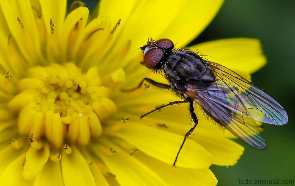 Mouche et fleur de pissenlit