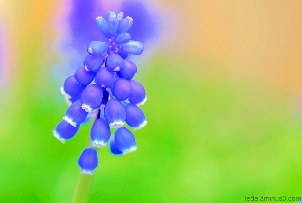 Fleur de muscari