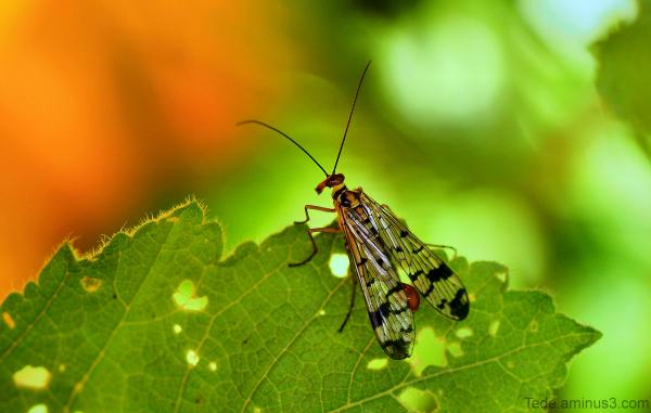 Mouche scorpion...