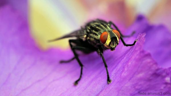 Mouche et fleur d'iris