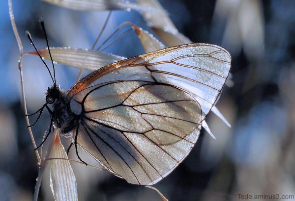 Papillon dans la rosée