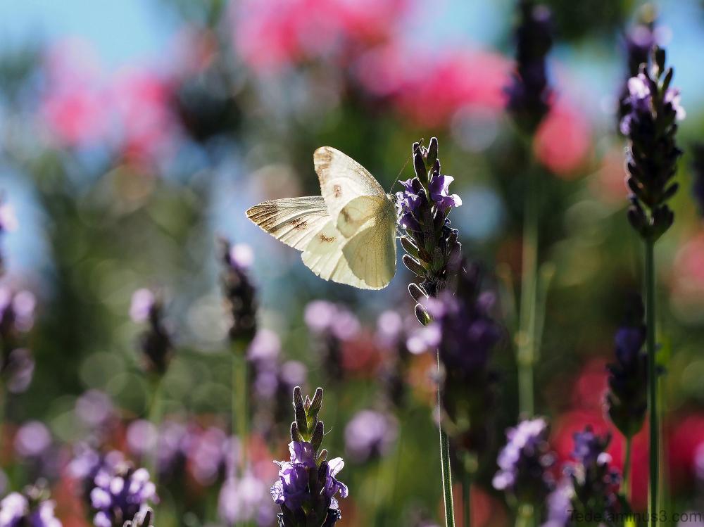 Papillon dans la lvande et le laurier rose