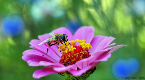 Fleur et syrphe