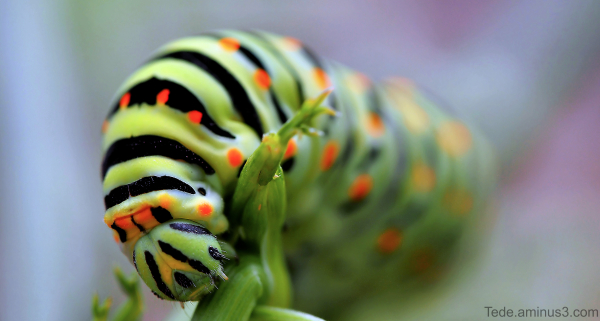 Chenille du papillon machaon