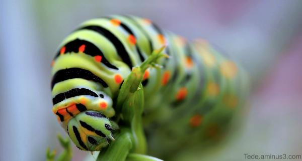 Chenille du papillon machaon