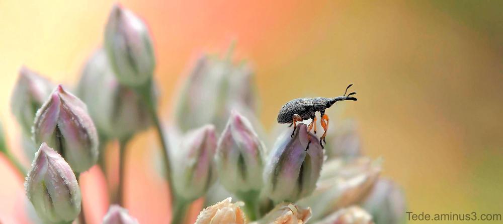 Charançon sur une fleur d'oignon