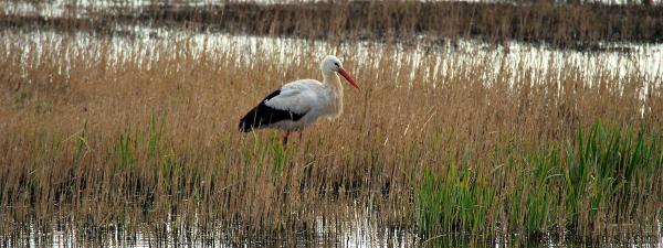 Cigogne,  Stork...