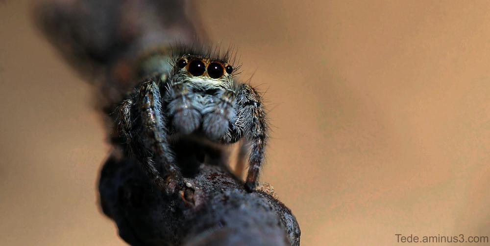Les yeux de l'araignée