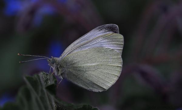 Papillon et fleur de bourrache