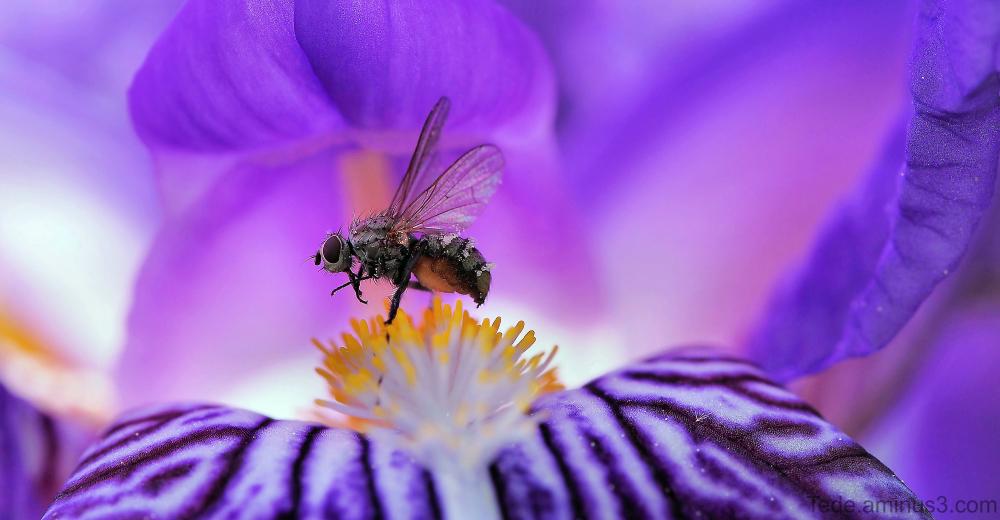 Mouche sur une fleur d'iris