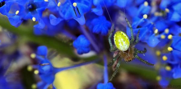 Araignée et fleurs bleues