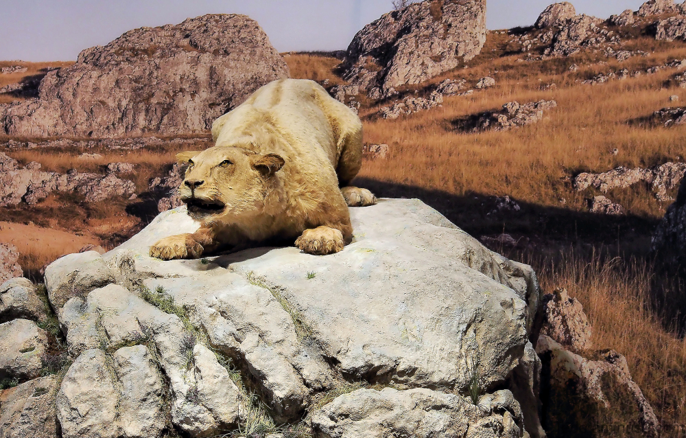 Lion des cavernes, grotte Chauvet, Ardèche