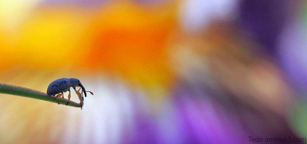 Charençon et fleur d'iris