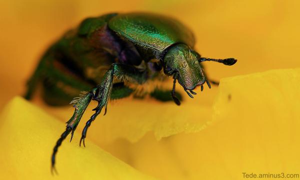 Cétoine sur une fleur d'iris