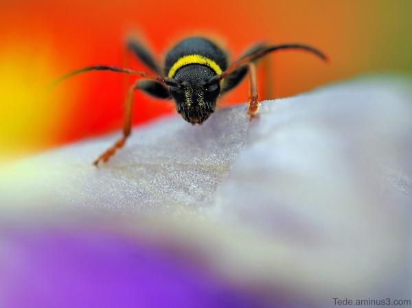 Insecte sur un iris et un coquelicot