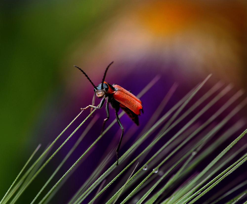 Insecte sur un épi d'herbe