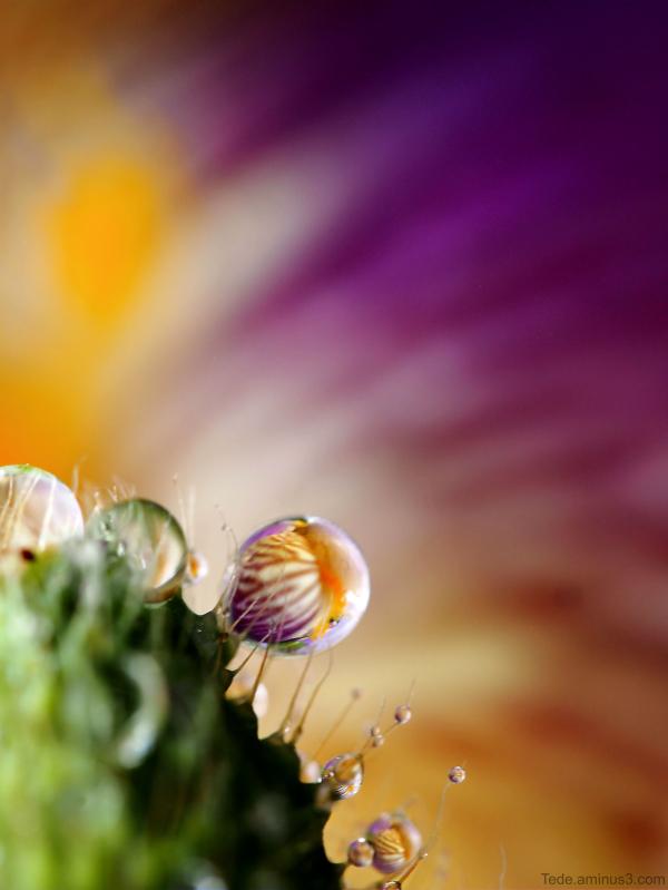 Gouttes de pluie et fleur d'iris