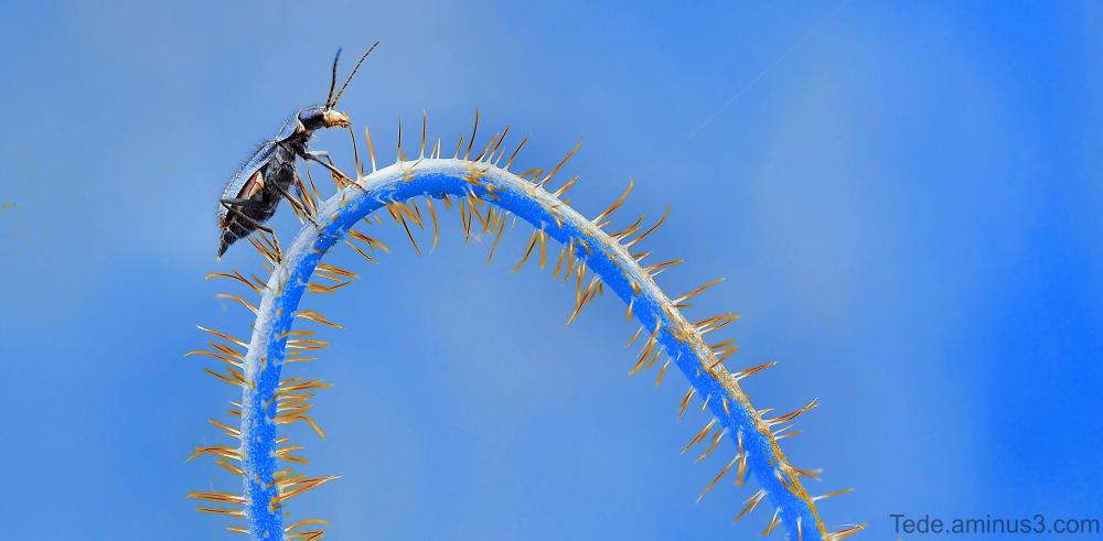 Insecte sur une queue de coquelicot