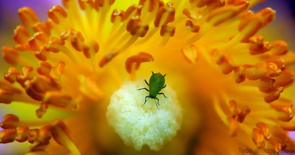 Puceron dans une fleur de ciste