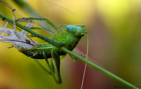 Naissance d'une sauterelle