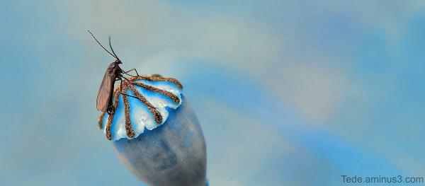 Insecte sur une capsule de coquelicot