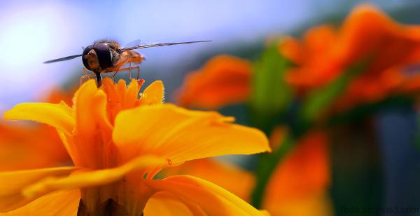 Syrphe sur une fleur