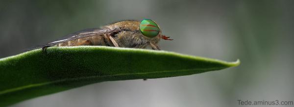 Taon sur une feuille d'olivier