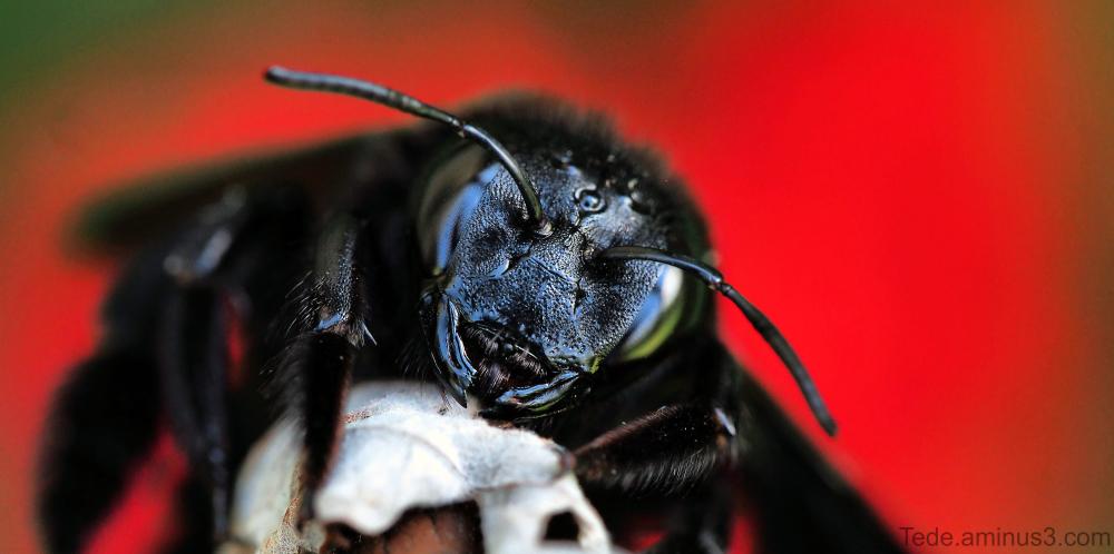 L'abeille charbonnière