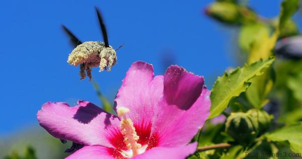Abeille charpentière couverte de pollen