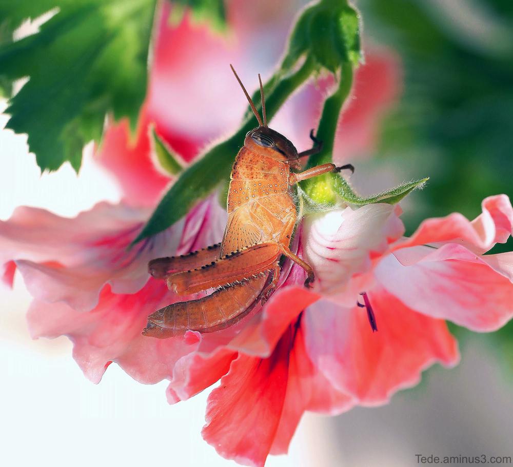 Sauterelle sur une fleur de géranium