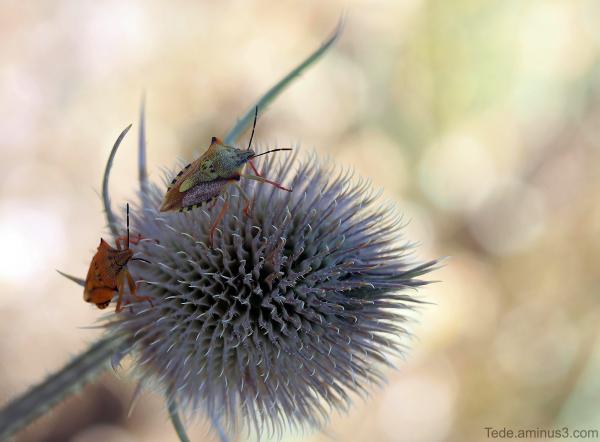 Punaises sur une fleur de chardon