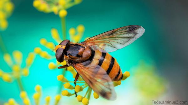 Insecte dans une fleur d'aneth