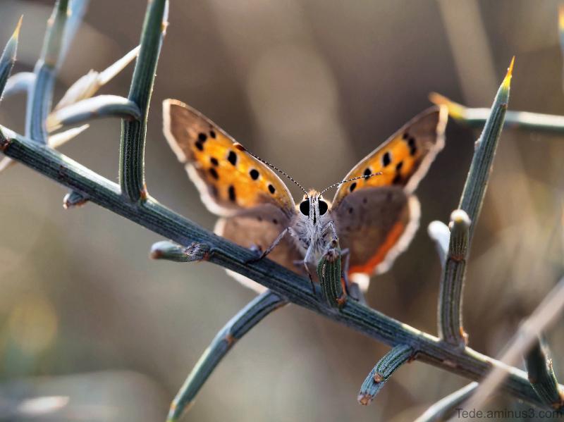 Papillon sur un genêt scorpion