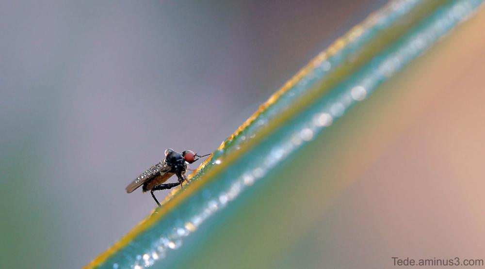 Mouche sur une feuille d'iris