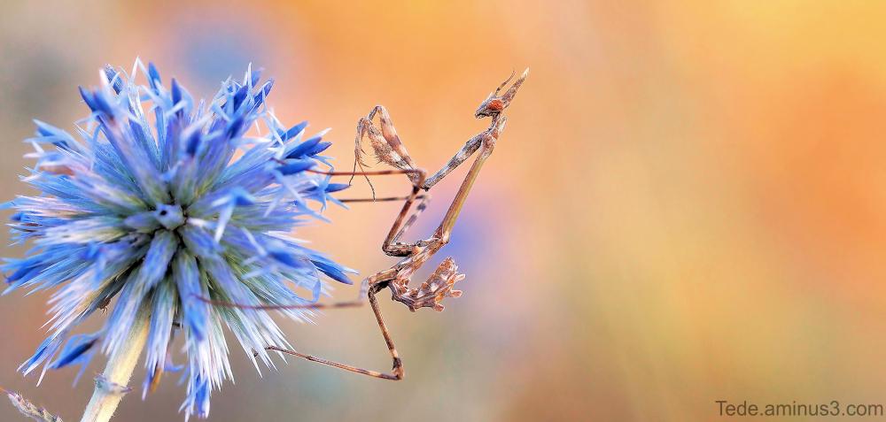 Empuse sur une fleur de chardon
