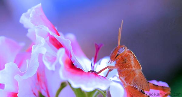 Sautrelle dans une fleur de pélargonium