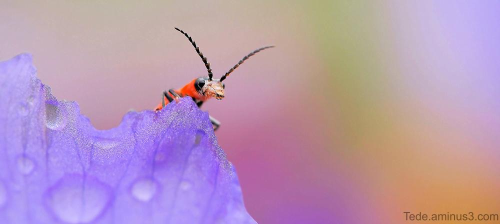Insecte et fleur d'iris