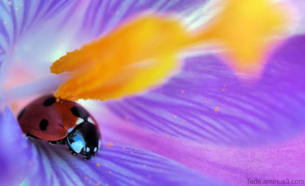 Coccinelle dans une fleur de crocus